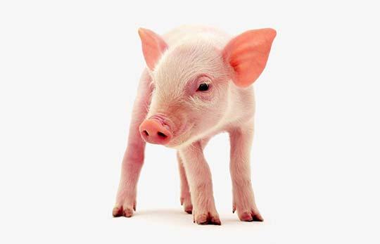Cerdos - Vasquetto Nutrición Animal - Río Cuarto