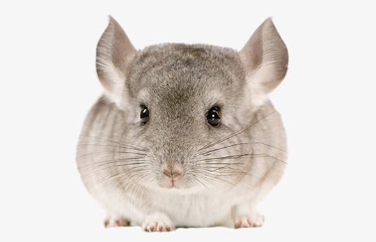 Chinchillas - Vasquetto Nutrición Animal