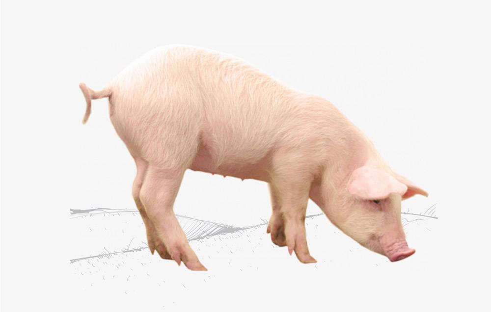 Cerdos Premium